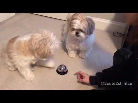 [shih tzu] Furry babies learning ring the call bell