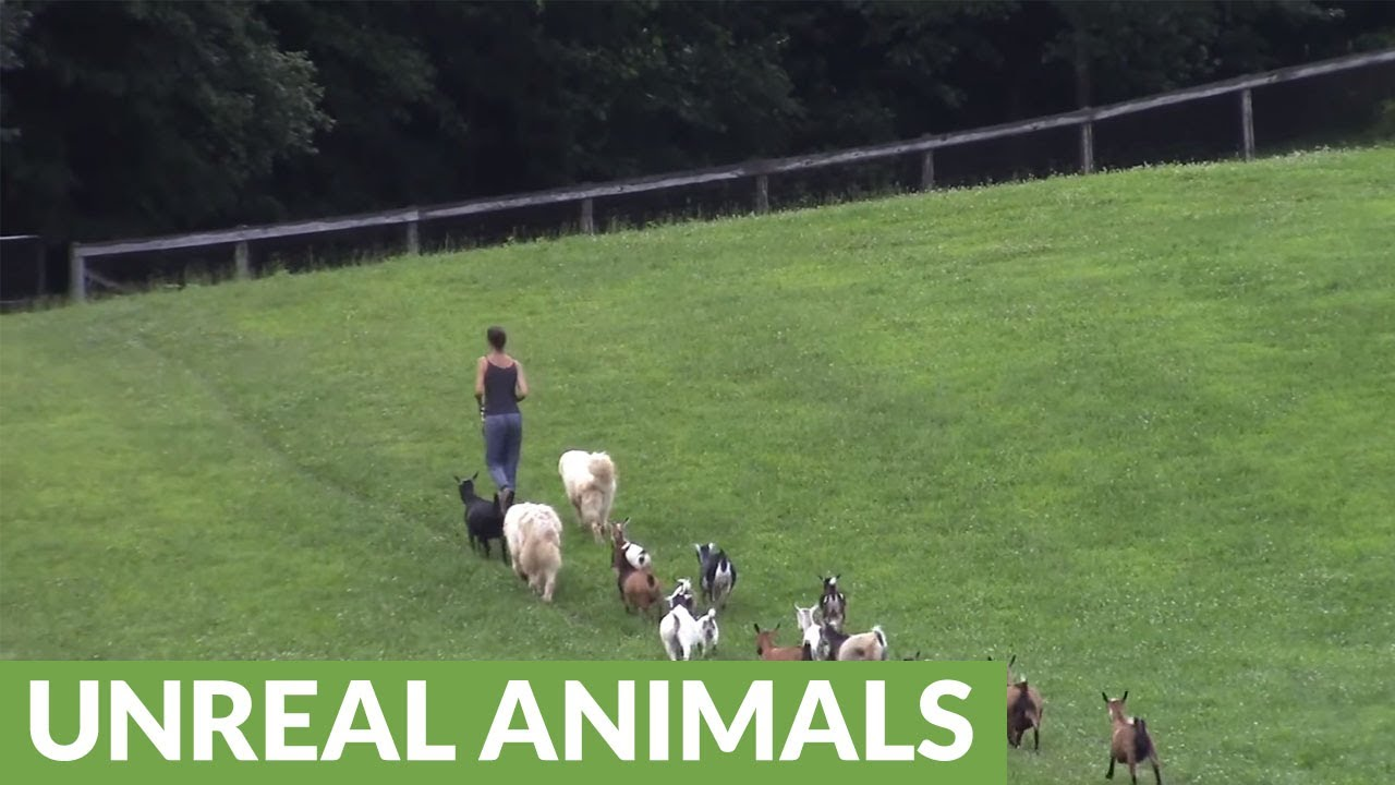dogs-ducks-goats-and-chickens-walk-in-single-file-line