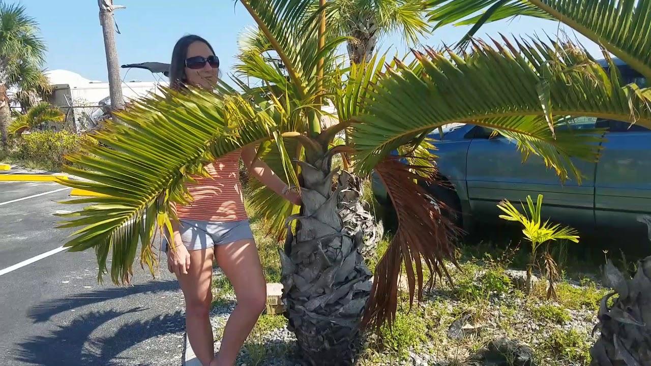A Juvenile Bottle Palm Hyophorbe Lagenicaulis Matlacha Florida