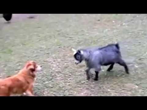 Смешные козлы (17 фото) » Триникси