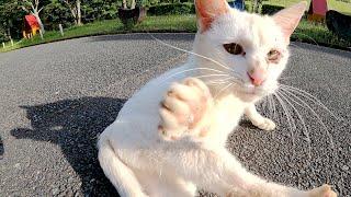 無防備に寝転がる白猫が「お腹は嫌よ」と猫パンチしてきた