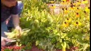 How To Trim A Black Eyed Susan