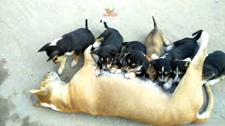 কুকুরের বাচ্চাকে দুধ খাওয়ানো - Street Dog Feeding Milk To Her Babies | Dog Feeding to Her Puppies