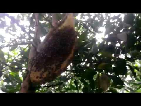 Lấy tổ ong mật p5