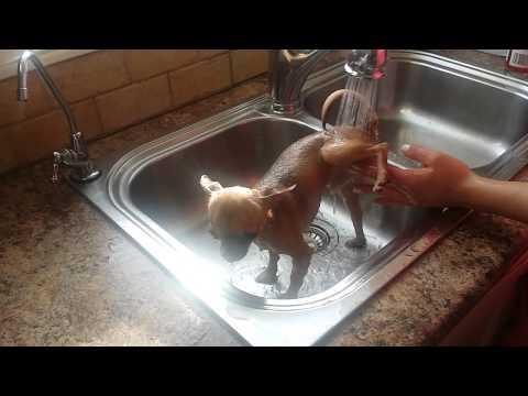 Louie the teacup Chihuahua's first bath