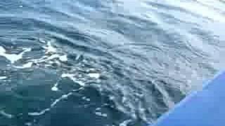 Black tip Shark. Hutan Melintang