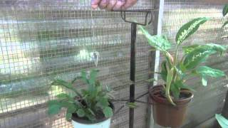 Repeat youtube video COMIGO-NINGUÉM-PODE, uma planta poderosa.