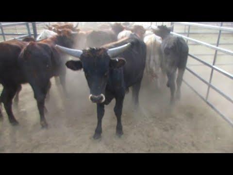 Loading Cattle in VEGAS