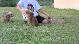 Yo-chon Puppies- Florida Puppies Online