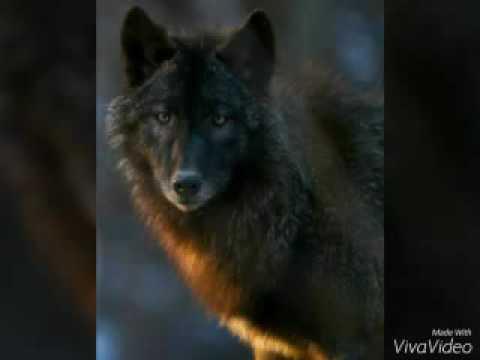 Algumas Fotos De Bonitos Lobos Youtube