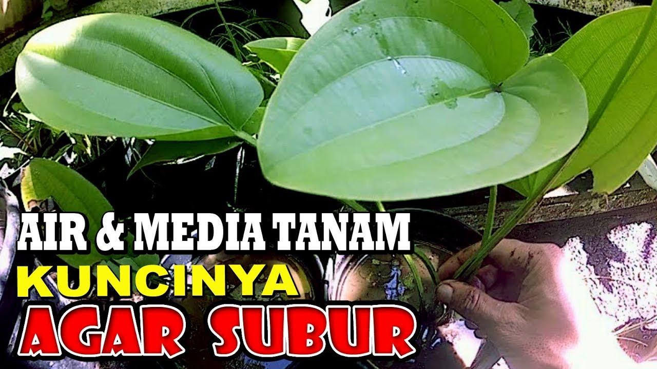 Cara Menanam Melati Air Agar Tumbuh Subur Gogreen 97 Youtube