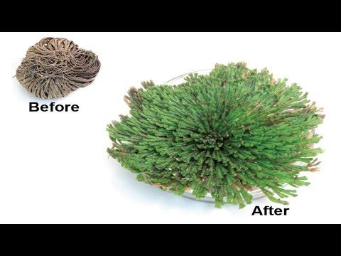 ⟹ Resurrection Plant | Selaginella Lepidophylla | An Amazing Plant You Cant Kill!