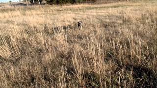 Gsp Oscar1 - Pointing A Quail In The Field For First Time