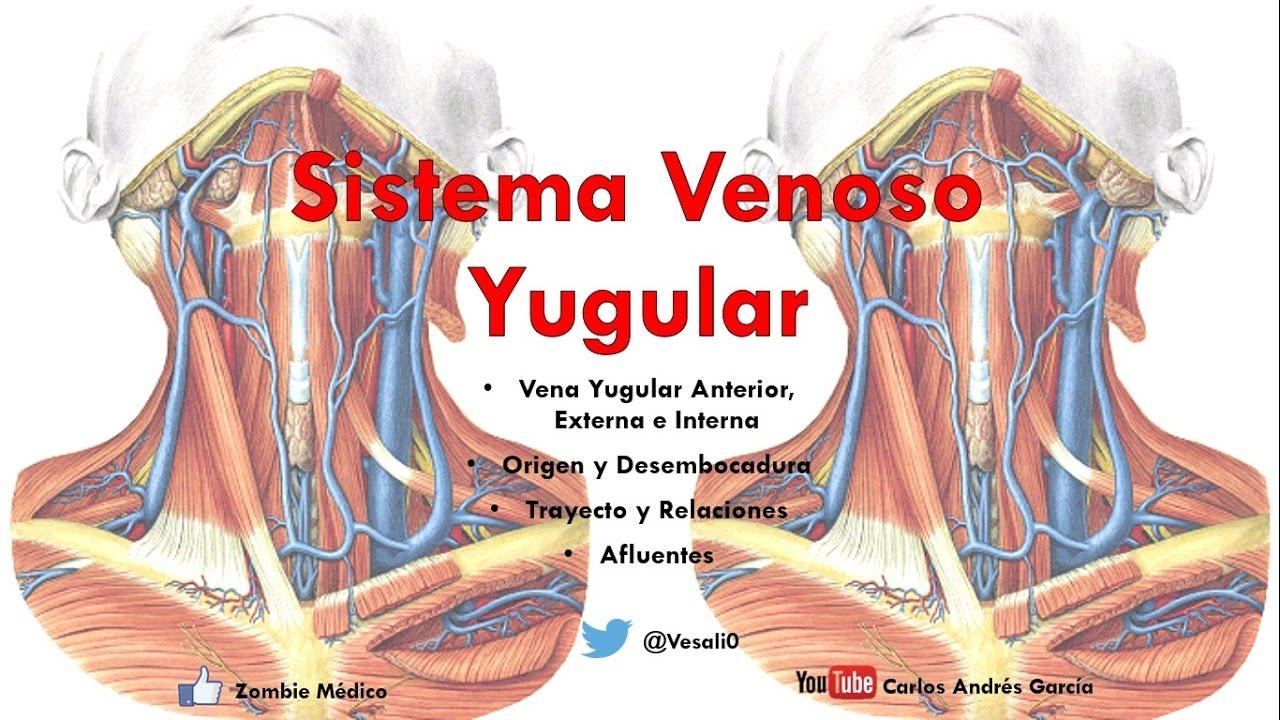 Anatomía - Venas Yugulares Anterir, Externa e Interna (Origen ...