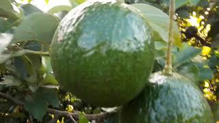 Hái bơ bơ booth làm quà gửi ra phan thiết| avocado viet nam