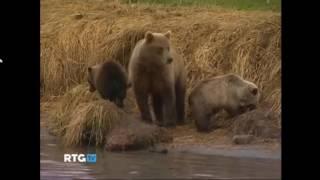 Бурые медведи, очень умные и самые сильные среди хищников