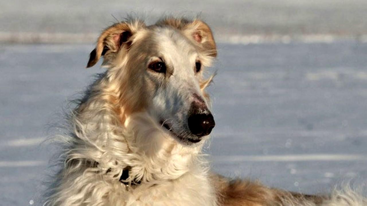 Порода собак .Русская борзая.Универсальная порода собак.