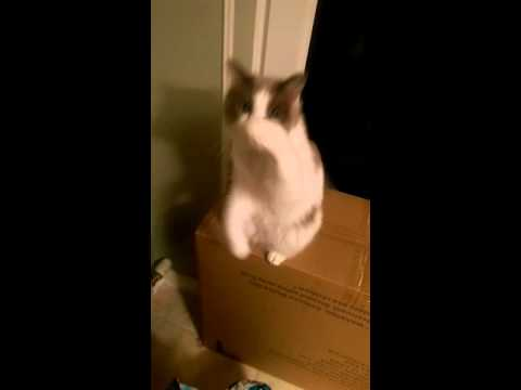 Ragamuffin cat, Joey learns to beg :)