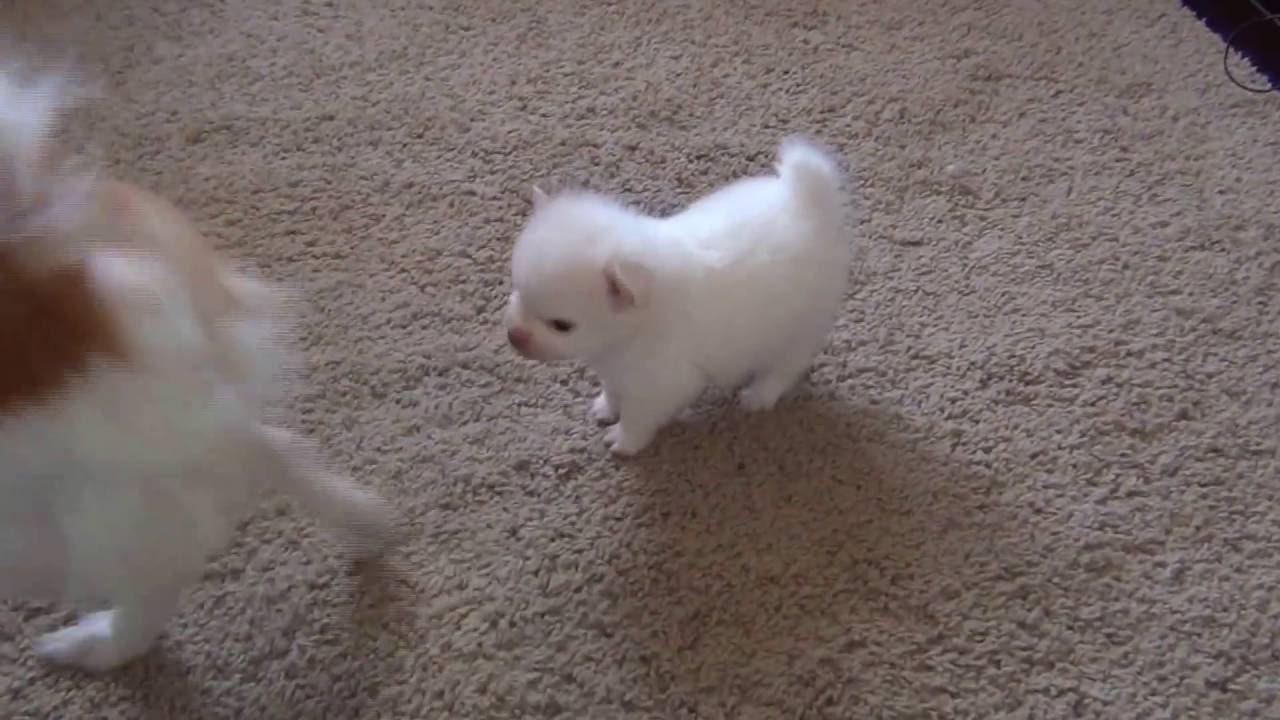 Cute Pomeranian Puppy Plays With Parents Watching A