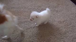 Cute pomeranian puppy plays with Parents  Watching a puppy grow