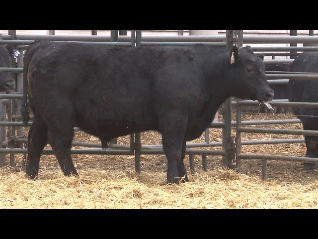 Schiefelbein Angus Farms Lot 282