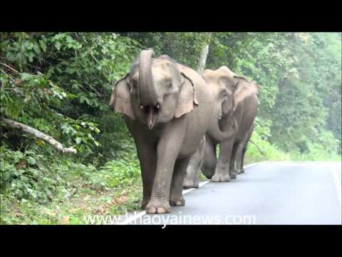 wild elephants, khao yai, national park, thailand