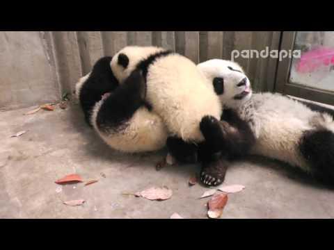 Panda cubs sweet kiss after milk time.