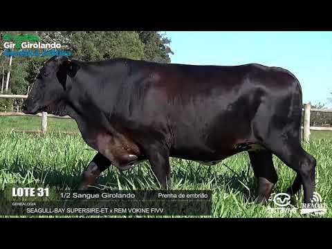 LOTE 31 - REM GAMADA - REM0310 - 0891-AU - 5º LEILÃO GIR E GIROLANDO GENÉTICA ADITIVA