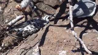 Zwierzęta z Galapagos na Seymur Norte