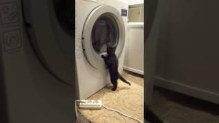 """Бомбейский котенок """"постирушка""""."""