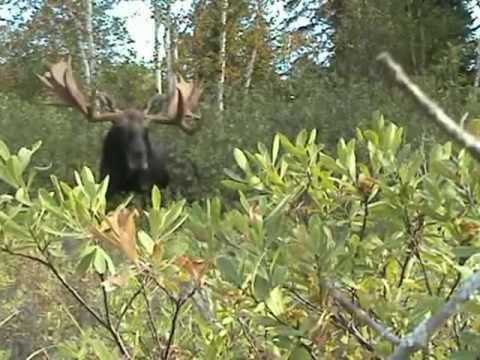 Moose Calling Huge Bull
