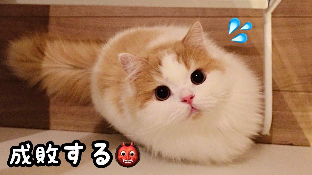 甘えん坊猫のかまって攻撃が激しい..!