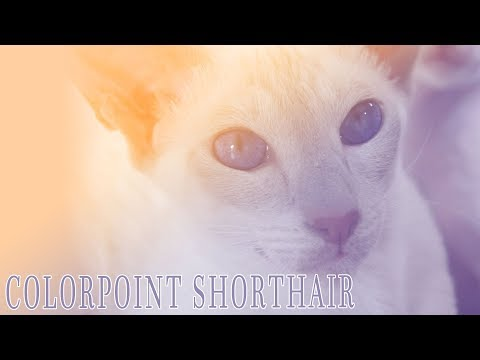 Ideal Companion: Colorpoint Shorthair | Cat Breeding Videos