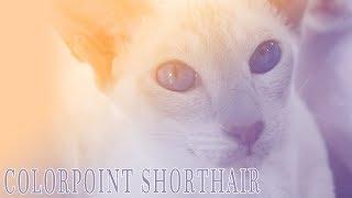 Ideal Companion: Colorpoint Shorthair | Cat Breeding Videos