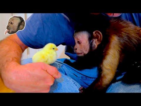 Capuchin Monkey Meets Easter Chicks