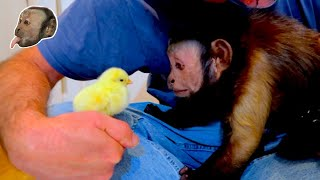 Capuchin Monkey Meets Easter Chicks