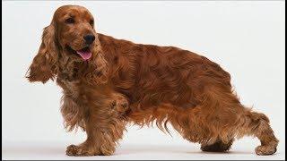 Хочу собаку. Английский коккер-спаниель | Телеканал