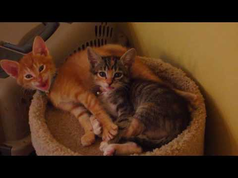 Super Cute Kittens Wake up from their Nap & Start Meowing at Me! - 6 Weeks Old