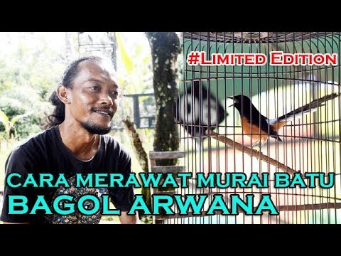 Limited Edition Cara Merawat Murai Batu Juara Versi BAGOL ARWANA With Bang Mudin