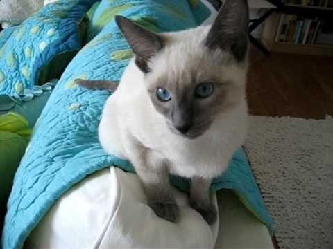 Chatty Siamese Kitten