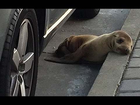 Confused seal pup found roaming the streets of San Francisco