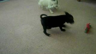 Staffordshire Bull Terrier - Michigan Staffys 2