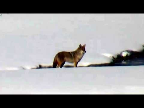 Coyote Faces Brave Visitor! @Yellowstone! Nov. 2017