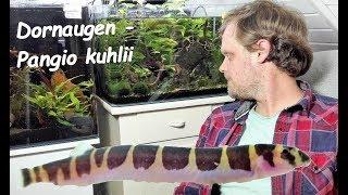 Dornaugen - Fische mal anders! Haltung von Pangio kuhlii