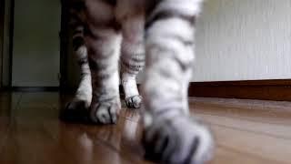廊下を歩いてくるねこ A cat walking in the hallway thumbnail