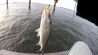 Striped Bass Fly Fishing  - FISH YOUR WAY - Bluefish on the Atom Popper