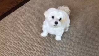 Max the Maltese and his tricks