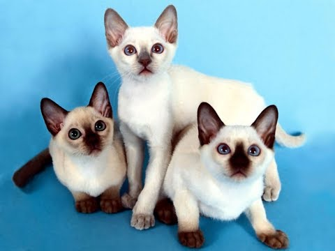 Siamese Cat Information - The Good, Bad, and the Ugly | Siamese Cat