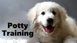 How To Potty Train A Maremma Sheepdog Puppy - Abruzzenhund House Training - Maremma Sheepdog Puppies