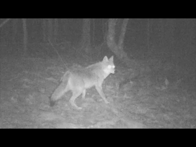 Recent trail camera footage